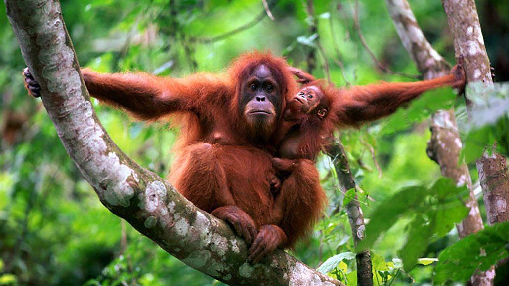 01-Sumatera-Orangutan-Slideshow