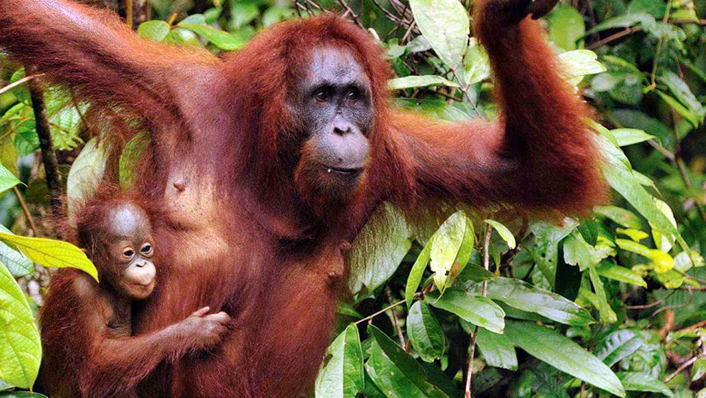 02-orangutan-kalimantan-Slideshow